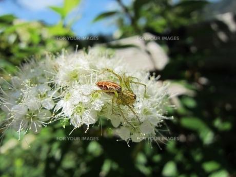 ササグモの写真素材 [FYI00152606]