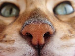 猫の鼻の写真素材 [FYI00152609]