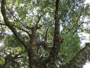 肉桂の木の写真素材 [FYI00152620]