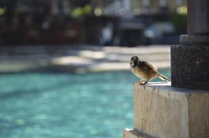 プールサイドの鳥の写真素材 [FYI00152675]