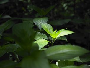 日の当たる葉の写真素材 [FYI00152692]