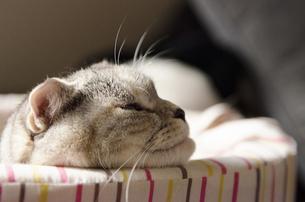 眠る横顔の猫の写真素材 [FYI00152693]