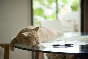 ガラステーブルで眠る猫の写真素材 [FYI00152695]