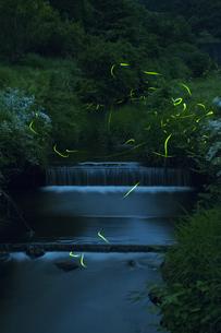 ホタル舞う小川の写真素材 [FYI00152699]