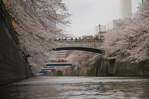 目黒川から見た満開の桜の写真素材 [FYI00152707]