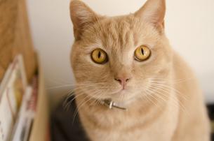 見つめる猫の写真素材 [FYI00152712]