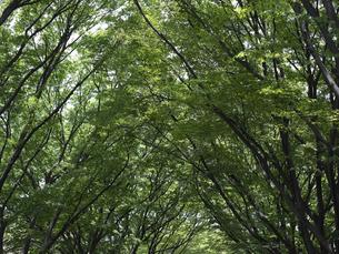 ケヤキ並木の写真素材 [FYI00152714]