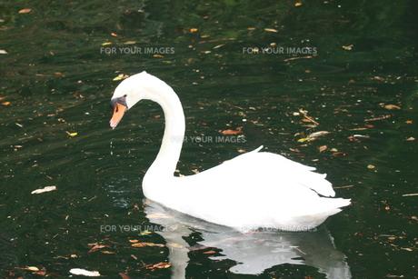 白鳥の写真素材 [FYI00152715]