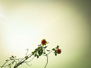 空に浮かぶ2本のバラの写真素材 [FYI00152718]