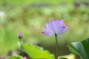蓮の花の写真素材 [FYI00152724]