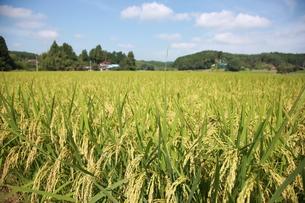 稲の写真素材 [FYI00152734]