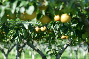 梨の木の写真素材 [FYI00152767]