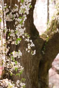 桜の写真素材 [FYI00152772]