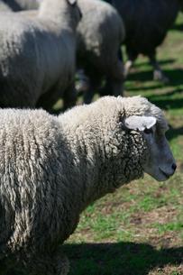羊の写真素材 [FYI00152783]