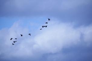 渡り鳥の写真素材 [FYI00152826]