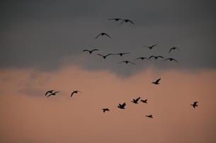 渡り鳥の写真素材 [FYI00152827]