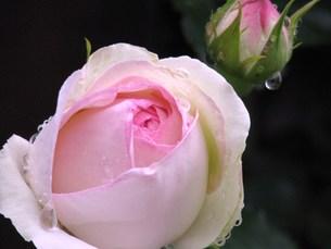 雨上がりのバラの素材 [FYI00152855]