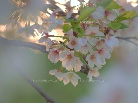桜の素材 [FYI00152862]