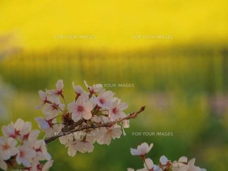 桜と菜の花の素材 [FYI00152867]