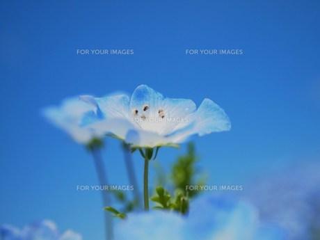 青い空と青い花の素材 [FYI00152869]