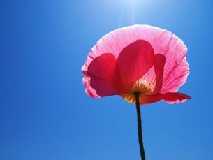 青空と一輪の花の素材 [FYI00152879]