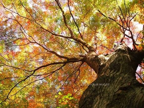 紅葉の大木の素材 [FYI00152880]