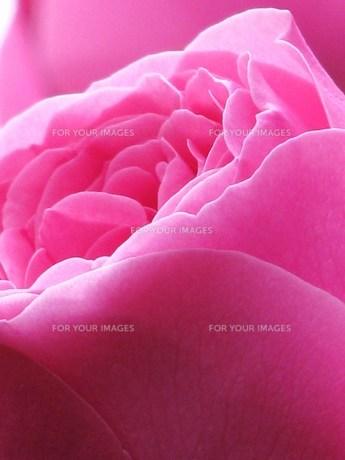 ピンクのバラの素材 [FYI00152882]