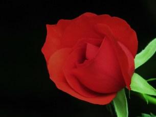 赤いバラの素材 [FYI00152890]