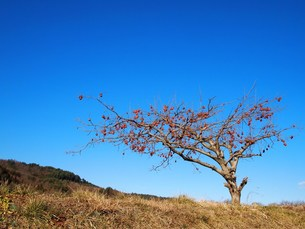 柿の木の素材 [FYI00152898]