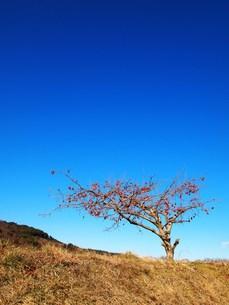 柿の木の素材 [FYI00152914]