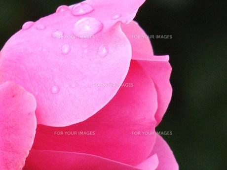 ピンクのバラの素材 [FYI00152925]