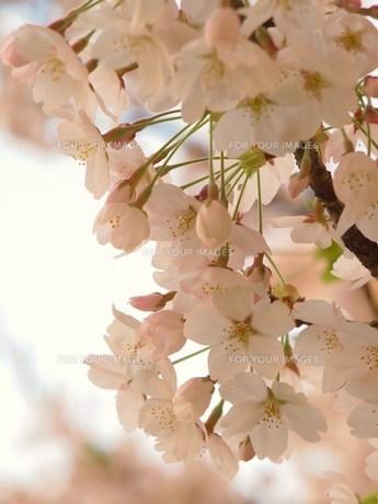 桜の素材 [FYI00152926]