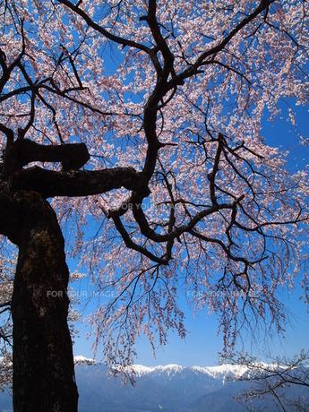 桜の素材 [FYI00152935]