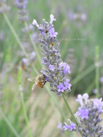 ラベンダーの蜜を吸う蜂の写真素材 [FYI00152941]