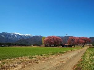 田舎道の桜の素材 [FYI00152945]