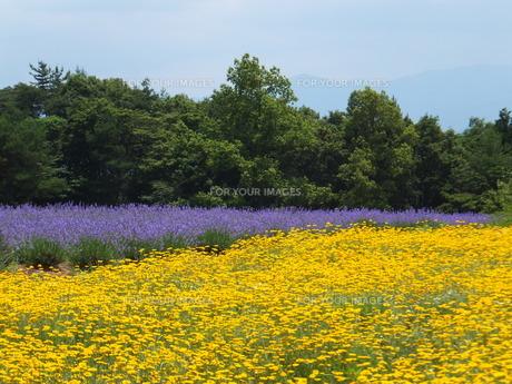 紫と黄色のコントラストの写真素材 [FYI00152994]