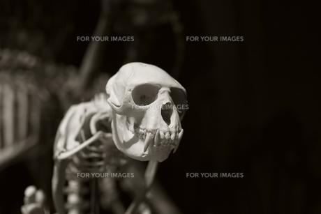 猿の頭骨の写真素材 [FYI00153091]