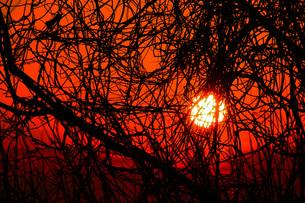 藪の向こうの夕日の写真素材 [FYI00153211]