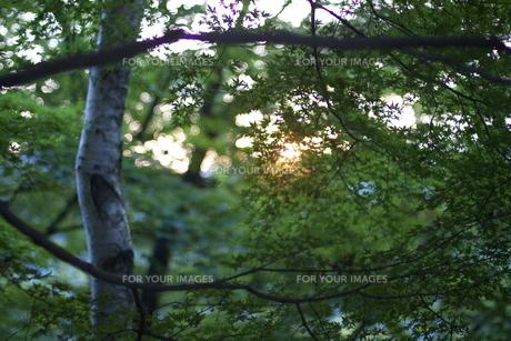高尾山のモミジの写真素材 [FYI00153245]