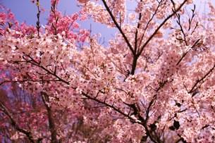 桜の写真素材 [FYI00153294]