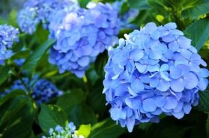 紫陽花の写真素材 [FYI00153301]