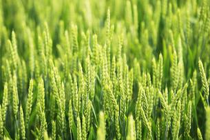 夏の小麦畑の素材 [FYI00153367]
