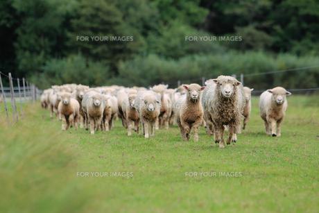 羊の群れの写真素材 [FYI00153382]