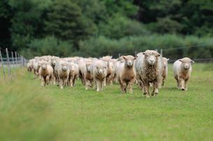 羊の群れの素材 [FYI00153382]