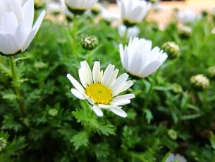 白い花と蕾の写真素材 [FYI00153433]