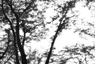 モノクロのぼけた森の写真素材 [FYI00153506]