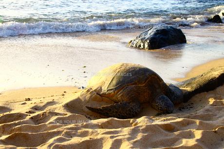 ノースショアの夕日とウミガメの写真素材 [FYI00153533]