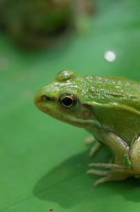 カエルのアップの写真素材 [FYI00153555]