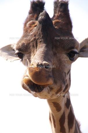 多摩動物公園のユニークなキリンのアップの写真素材 [FYI00153558]