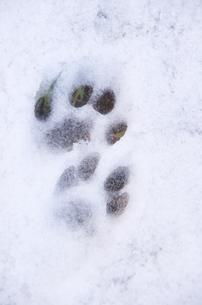 雪景色の中のかわいい足跡の写真素材 [FYI00153569]